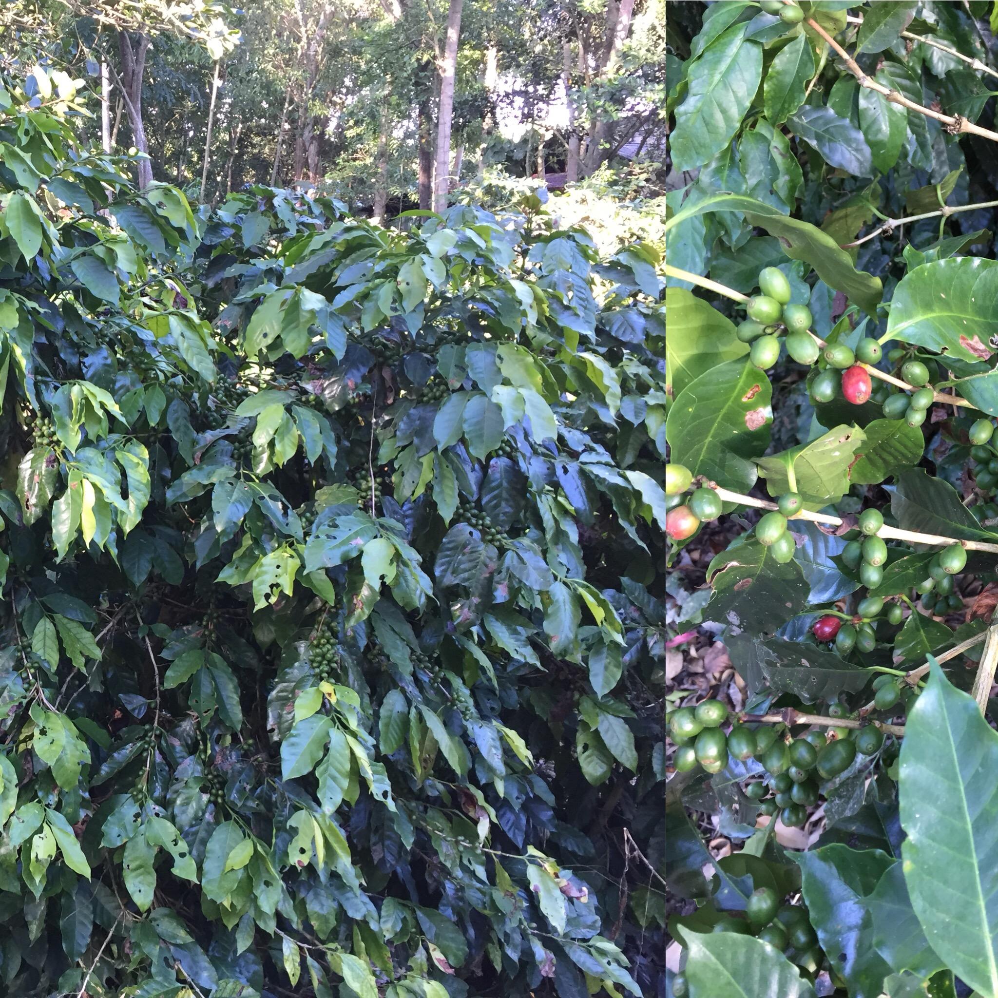 Kaffe fra Peru